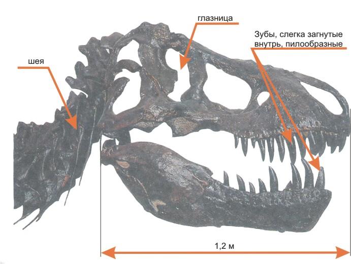 Картинки по запросу зубы тираннозавра